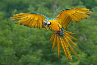 Blue and Yellow Macaw Bird Flying-953871